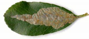 Fig 7 - Phyllonorycter corylifoliella atac pe frunze