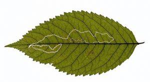 Fig 8 - Lyonetia_clerkella atac pe frunze