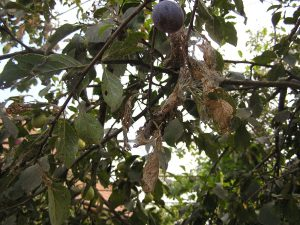 Fig 13 - Atac omizi defoliatoare prun
