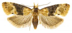 Fig. 5 - Eupoecilia ambiguella