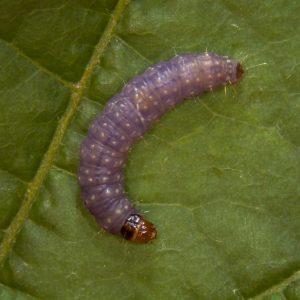 Fig. 6 - Larva de Eupoecilia ambiguella