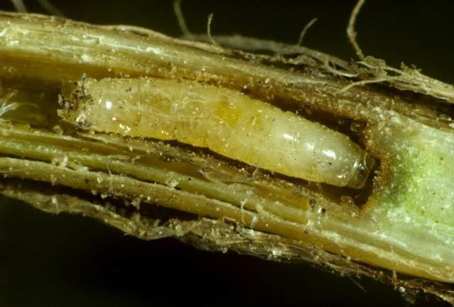 Figura 1-Larva musca cenusie a cerealelor (Delia coarctata)