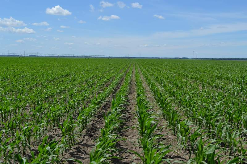 Efectul aplicarii fertilizantilor starter, la porumb