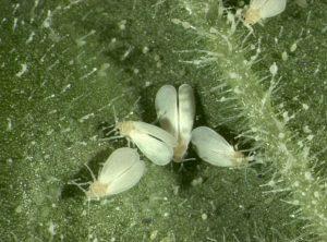 Musculita alba de sera (Trialeurodes vaporariorum)