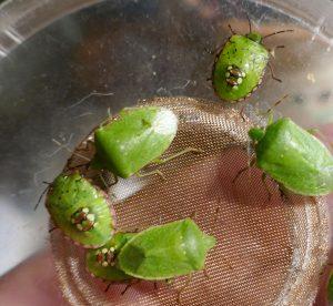 Adulți si larve de Nezara viridula