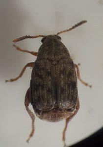 Fig 1. Acanthoscelides obtectus - adult
