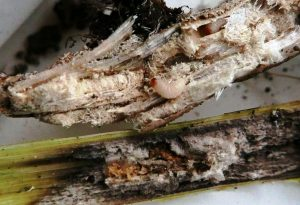 Gargarita silicvelor (larve si galerii, 5 iulie 2019)
